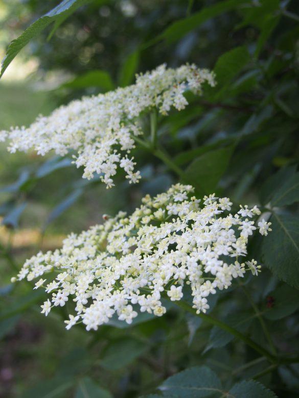 Hollerkracherl (oranżada z kwiatów czarnego bzu)